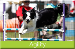 agility-dog-training-barrie